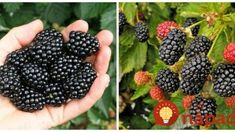 Reap the delicious and nutritious benefits of growing a raspberry plant in your own yard. Our raspberry plants include red, yellow, purple and black varieties. Growing Succulents, Planting Flowers, Growing Raspberries, Black Raspberries, Mulberry Fruit, Raspberry Plants, Raised Bed Garden Design, Raspberry Recipes, Growing Vegetables