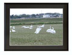 撮影地:新潟市秋葉区★白鳥          2013/12/08撮影写真は銀映プリントを使用しています※掲載の額入り写真はハメコミ合成です。 写真サイズ:A...|ハンドメイド、手作り、手仕事品の通販・販売・購入ならCreema。