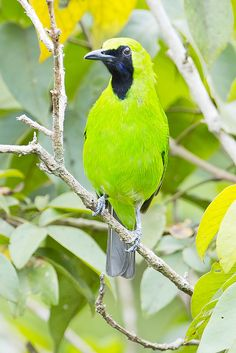 ☀Greater Green Leafbird Male (Chloropsis sonnerati) by Chong Lip Mun