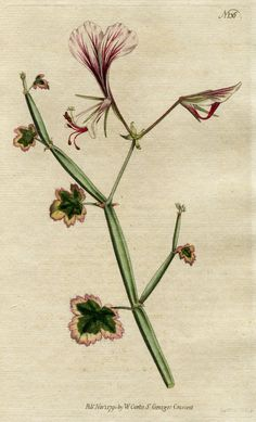 CURTIS BOTANICAL 1790 'GERANIUM' No.136 Hand-Colored Engraving SYDENHAM EDWARDS