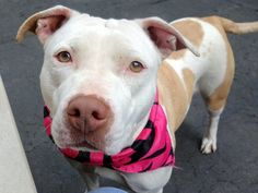 SAFE 5-20-2015 --- Manhattan Center KALISKA – A1036247 FEMALE, WHITE / RED, AM PIT BULL TER MIX, 1 yr, 6 mos STRAY – STRAY WAIT, NO HOLD Reason STRAY Intake condition EXAM REQ Intake Date 05/13/2015