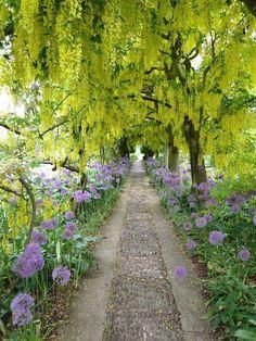 laburnum-walk-girl about garden barnsley house---lime green and lavender alllium