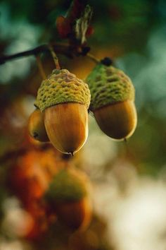 Nature pictures: beautiful - Camera on Autumn Day, Autumn Leaves, Oak Leaves, Acorn And Oak, Mighty Oaks, Bokeh Photography, Fruit Photography, Photo Tree, Oak Tree