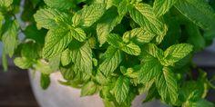 Φροντίδα δυόσμου σε γλάστρα | Τα Μυστικά του Κήπου Spinach, Herbalism, Herbs, Vegetables, Plants, Image, Food, Gardening, Decoration