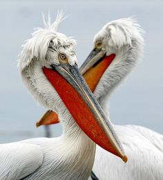 Pelicans have eight living, species: characterized w/ a long beak and large throat pouch used in catching prey and draining water from the scooped up contents before swallowing.The bills, pouches and bare facial skin of all species become brightly coloured before the breeding season. Fossil evidence of pelicans dates back at least 30 million years, to the remains of a beak very similar to that of modern species recovered from Oligocene strata in France.