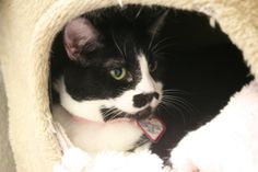 Brie - EDB 4/21/04 Female, Black & White, Short Hair     Brie has a personality all her own. She likes being petted and talked to..on her own terms. She is finicky around other cats but would make a great furriend.