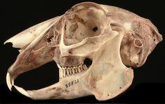 Lepus townsendii - white-tailed jack rabbit skull, side