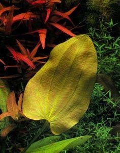Echinodorus «Yellow Sun»