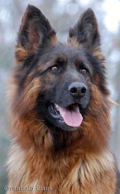 GRUNWALD HAUS - German Shepherd Dogs
