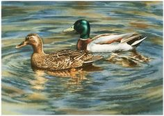 Another watercolor painting of a pair of Mallard ducks from the lake near our home.  The ducks are so tame in our area.  I guess it's not so...