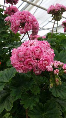 Beautiful Flowers, Amazing Flowers, Beautiful Pink Flowers, Geranium Flower, Love Flowers, Geraniums, Shade Garden Plants, Colorful Garden, Flower Arrangements Simple