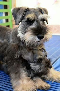 There's a baby in there! #miniatureschnauzerpuppy