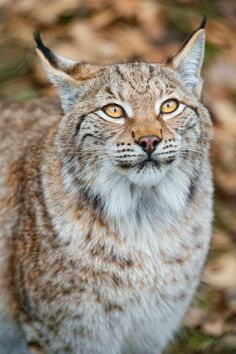anythingfeline: Pretty lynx portrait by Tambako The Jaguar