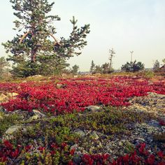Riekonmarjat hehkuvat Levitunturissa. Lapland, Finland, Levi Ski Resort