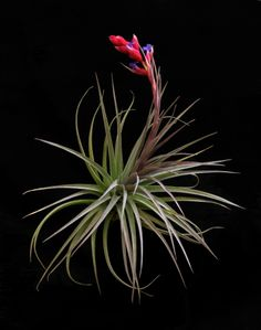"Plant Oddities Tillandsia aeranthos ""Purple Fan"""
