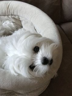 My eyes adore you! #maltese