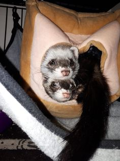 Pet Ferret, Pets, Animals, Animaux, Animal, Animales, Animais