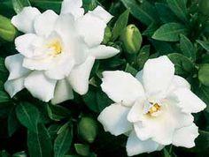http://www.cultivando.com.br/plantas_detalhes/gardenia.html  Nome popular: Gardênia; Jasmin-do-cabo.  Nome científico: Gardenia jasminoides.  Família: Rubiaceae.  Origem: China.