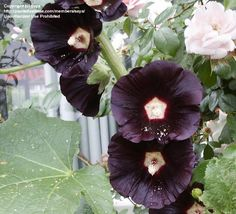 Just bought the seeds. Its a Hollyhock called the Black Watchman.