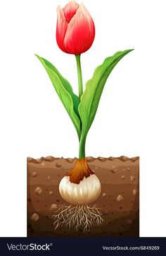 Red tulip in the ground Royalty Free Vector Image Diy Flowers, Spring Flowers, Diy For Teens, Diy For Kids, Plant Lessons, Plant Science, Red Tulips, Spring Activities, Plant Growth