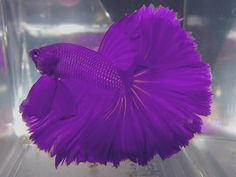 Betta fish are often considered to be among the heartiest sort of fish one can purchase, but great betta fish care is essential to a long and happy life. Betta Fish Types, Betta Fish Care, Betta Aquarium, Freshwater Aquarium Fish, Koi Fish Pond, Fish Ponds, Cool Fish, Siamese Fighting Fish, Halfmoon Betta