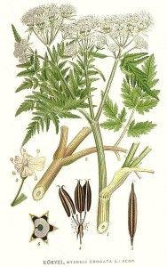 Sweet Cicely (Myrrhis odorata) - Vintage Print