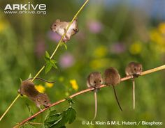 Family of young harvest mice (Micromys minutus) playing in a field.