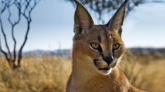 I'll be working with these rare Caracals.