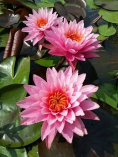 Very nice of lotus flower in Thailand