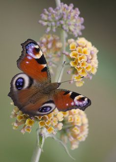 ~~Peacock Butterfly on Buddleja × weyeriana 'Sungold' by Emma_Seward~~