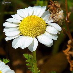 Flores silvestres en Guadalajara. NikonD7200 Mayo 2017. #flowers #flower #TagsForLikes #petal #petals #nature #beautiful #love #pretty #plants #blossom #sopretty #spring #summer #flowerstagram #flowersofinstagram #flowerstyles_gf #flowerslovers #flowerporn #botanical #floral #florals #insta_pick_blossom #flowermagic #instablooms #bloom #blooms #botanical #floweroftheday