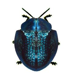 Cyrtonota thalassina Leaf Beetle, Beetle Insect, Blue Beetle, Beetle Bug, Insect Art, Weird Insects, Cool Insects, Bugs And Insects, Insect Orders