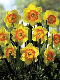 daffodil multnomah - Google Search