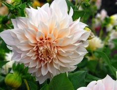 """Quite possibly the most perfect Dahlia ever created! - Dahlia Bulbs (Dinnerplate) """"Cafe au Lait"""""""