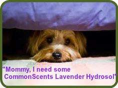 Lavender Hydrosol is SAFE and effective for calming dogs and cats! Simply spray directly on fur (avoiding face!) and massage or spray into your hands and massage into under belly and back. Can be used as frequently as necessary to help stressed out pets!  www.usecommonscents.com