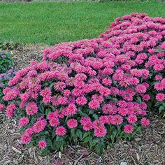 Monarda Sugar Buzz 'Bubblegum Blast' - Bee Balm Perennials - E-Newsletter - March 2015 Hot Pink Flowers, Summer Flowers, Wild Flowers, Pink Perennials, Deer Resistant Plants, Plant Nursery, Perfect Pink, Garden Supplies, Bubble Gum