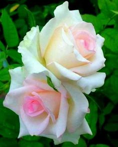 Cream and pink roses Beautiful Rose Flowers, Pretty Roses, Flowers Nature, Exotic Flowers, Amazing Flowers, Pink Flowers, Beautiful Flowers, Foto Rose, Morning Flowers