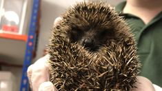 """A wildlife centre in Leicestershire says it is """"overwhelmed"""" with the numbers of underweight hoglets. Surviving In The Wild, Baby Hedgehog, Pebble Beach, Charity, New Baby Products, Centre, Numbers, Wildlife, Meet"""