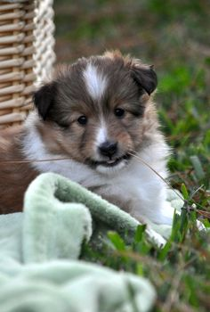 ~ SHELTIE PUP, TRI-COLOR, MAYBE 8 - 10 WEEKS OLD ~
