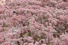 Sedum 'Ruby Glow': Position: full sun or partial shade Soil: moderately fertile, well-drained, neutral to slightly alkaline soil Rate of growth: average to fast-growing Flowering period: July to September Flower colour: ruby-red Other features: attractive to butterflies and bees; the dried flower-heads provide colour and structure in the winter garden Hardiness: fully hardy