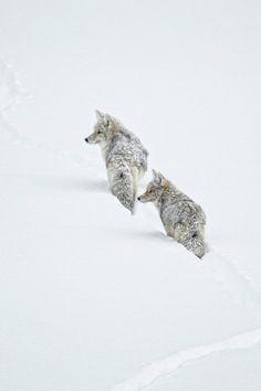 "waasabi: "" Winter Coyotes by Ignacio Yúfera """