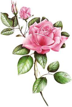 Illustration Botanique, Botanical Illustration, Art Floral, Watercolor Flowers, Watercolor Paintings, Botanical Art, Fabric Painting, Vintage Flowers, Flower Art