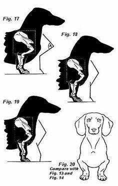 "Стандарт породы ""такса"" (FCI № 000) | Контент-платформа Pandia.ru Dachshund Drawing, Dachshund Art, Dachshund Puppies, Dachshunds, Daschund, Weiner Dogs, Miniature Wire Haired Dachshund, Dog Anatomy, Animal Skeletons"
