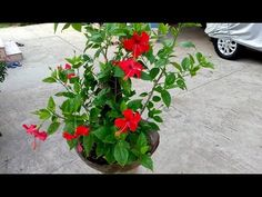 How to make bonsai hibiscus tree (update) - YouTube