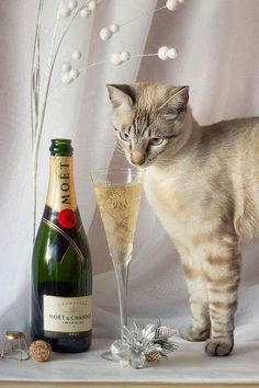 We're ready to start the countdown and ring in and some of our feline friends are joining the fun. Make sure to play this at your New Year's Eve party and crank the volume really loud. Funny Cat Memes, Funny Cats, Crazy Cat Lady, Crazy Cats, Drunk Cat, Cat Celebrating, Funny Animal Pictures, Cat Day, Cats And Kittens