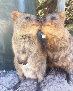 cuteness world records are . cuteness world records are . Cute Funny Animals, Cute Baby Animals, Beautiful Creatures, Animals Beautiful, Quokka Animal, Image Zen, Wild Animals Photography, Photo Animaliere, Unlikely Friends