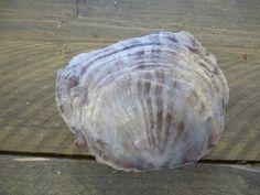 Placuna schelp in 2 kleuren verkrijgbaar.Prachtige parelmoer tinten