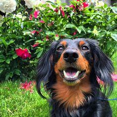 Carson the dachshund. #KatAndDog #miniaturedachs #miniaturedaschund #miniaturedachshund #miniaturedachshunds #miniaturelonghaireddachshund #longhairdachshund #longhaireddachshund #dachs  #dachshund #dachshunds #dachstagram #dachshundlife #dachshundlove #dachshund_love #dachshunddaily #dachshundlover #dachshundpuppy #dachshundsofig #dachshundsonly #dachshundsrule #dachshundlovers #dachshundoftheday #dachshundoftheday_ #dachshundofinstagram #dachsundsofinstagram #dachshundsofinstagram #dog…