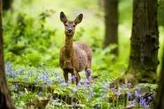 Roe Deer in a Bluebell Wood by Don Hooper
