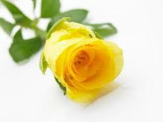 Yellow Rose Pictures Single Single Yellow Rose Stock Image Image Of